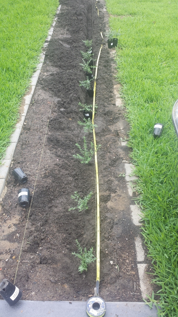 Use a string line, measuring tape and a trench to set out the  plants.
